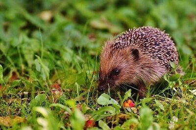 hedgehog in a London park