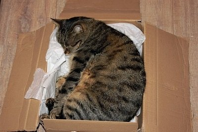 cat in an unpacked box in a London home