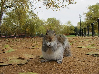 grey squirrel in a park in London