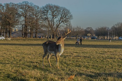 deer in Richmond park in London