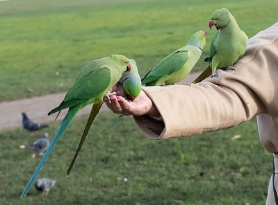 ring necked parakeets eating from a hand