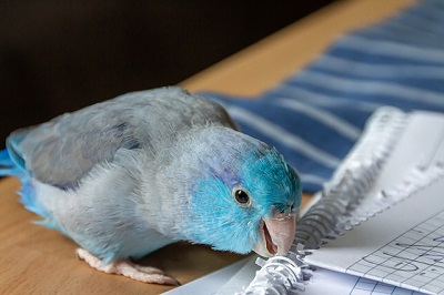 pet parrot at home